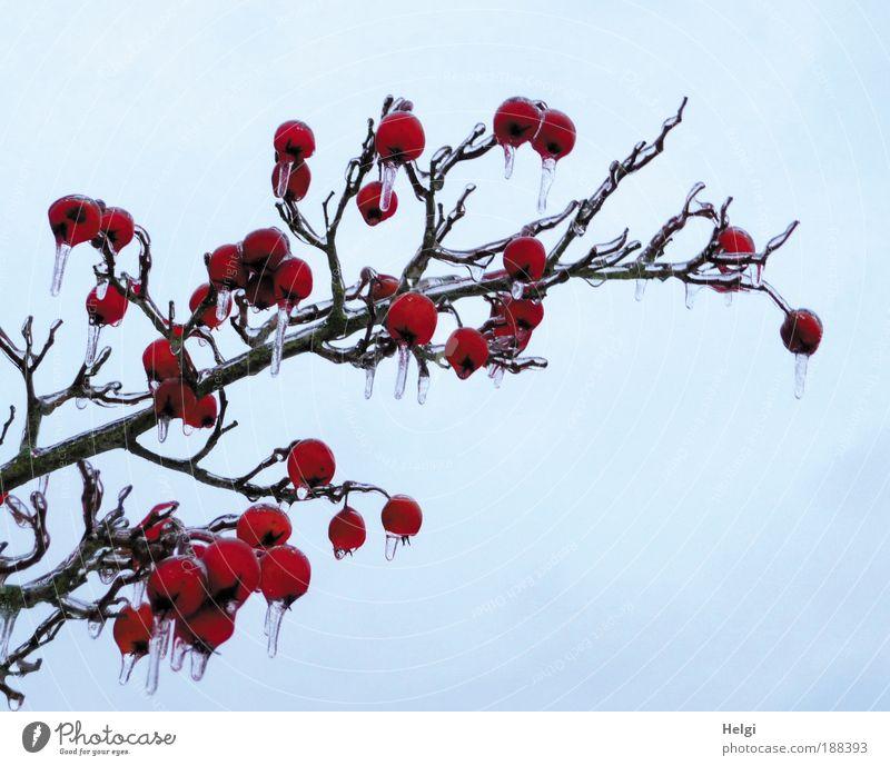 Winterapfel Himmel Natur blau Pflanze schön rot Winter kalt Umwelt natürlich klein außergewöhnlich braun Eis Wetter Wachstum