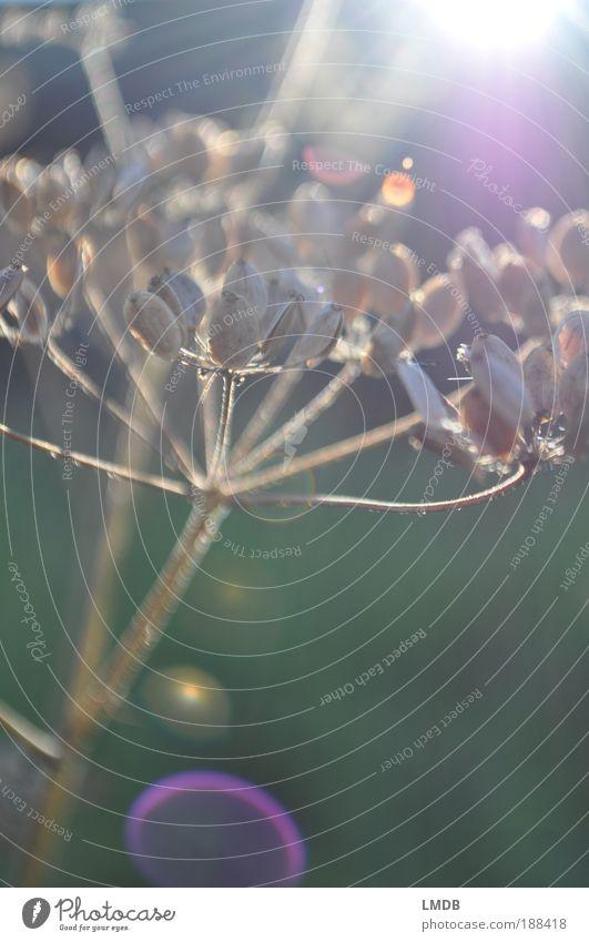 Ich brauch' mehr Sonnenlicht in meinem Leben Natur Sonne grün blau Pflanze Sommer Freude Wiese Gras hell Stimmung braun Beleuchtung Feld violett dünn