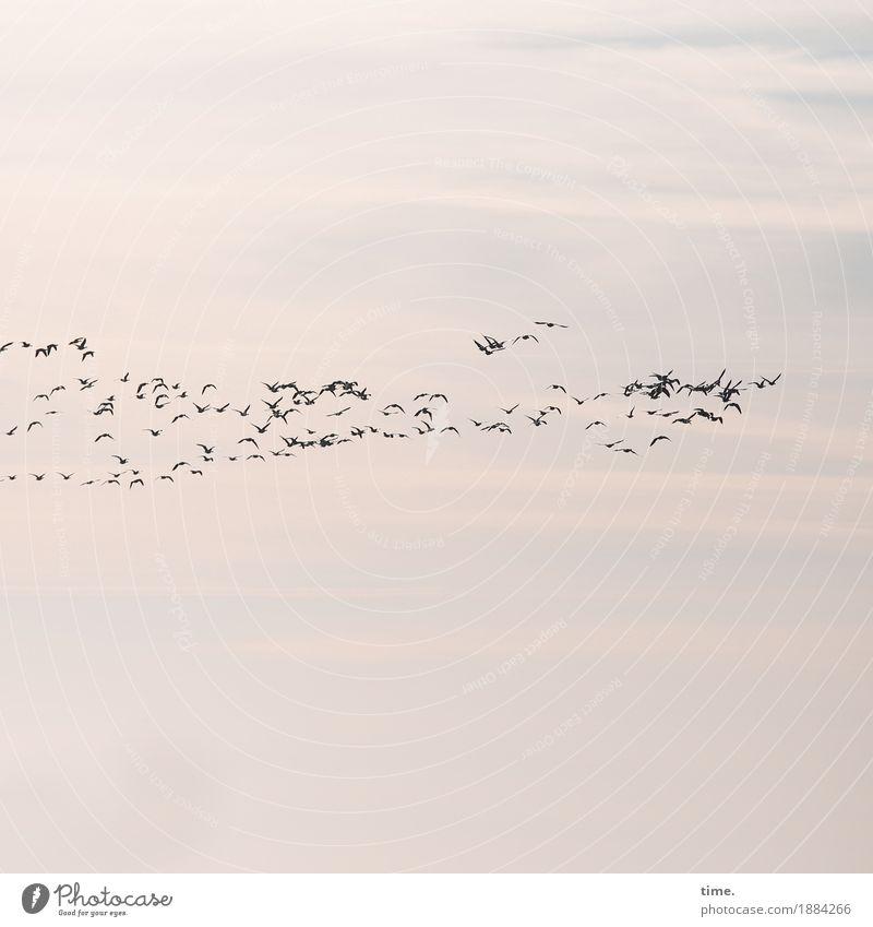 Orientierung   Teamwork Himmel Natur Wolken Leben Wege & Pfade Bewegung Vogel fliegen Zusammensein Ordnung Kommunizieren hoch Tiergruppe Zusammenhalt Tradition