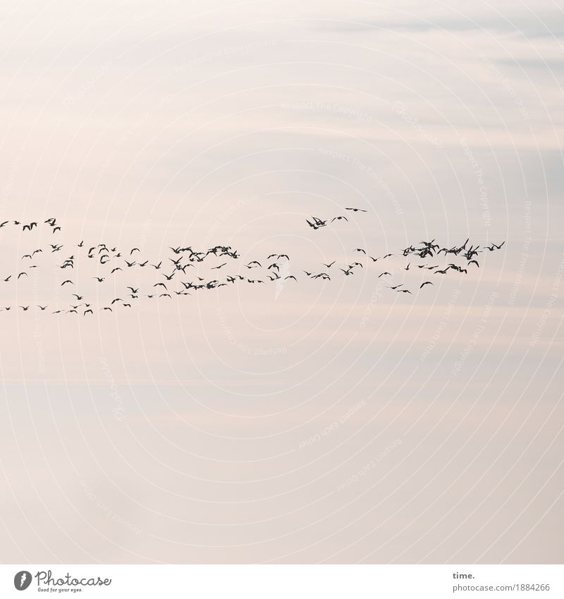 Orientierung   Teamwork Himmel Wolken Vogel Vogelschwarm Zugvogel Gans Tiergruppe Herde Schwarm Rudel Bewegung fliegen Zusammensein Wachsamkeit Pünktlichkeit
