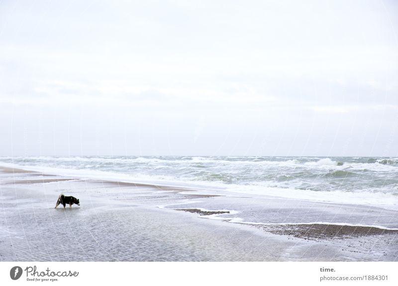 Orientierung | Die Flüchtigkeit der Fährte Sand Wasser Wellen Küste Strand Ostsee Priel Tier Haustier Hund 1 berühren laufen stehen maritim Neugier Interesse