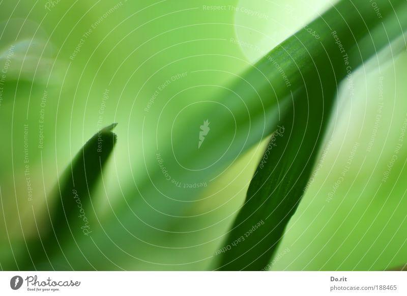 frisches Grün Natur grün Pflanze Freude Blatt Gras Frühling träumen Zufriedenheit Umwelt frisch Hoffnung zart Blühend saftig Frühlingsgefühle