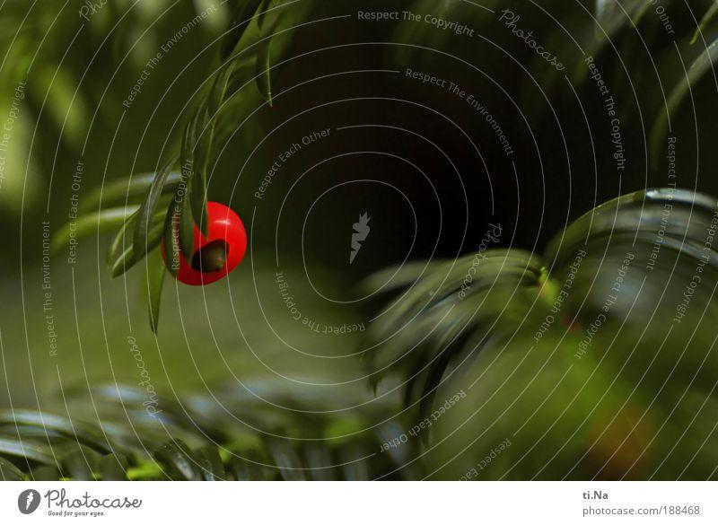 eine Beere für Helgi Natur grün schön rot Umwelt Park glänzend wild natürlich elegant Wachstum Schönes Wetter hängen Farbe Eibe