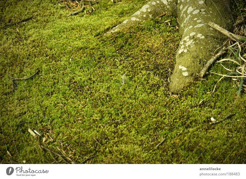 grüner Samt Umwelt Natur Pflanze Frühling Sommer Baum Moos Grünpflanze Wildpflanze Wald frisch sattgrün Wurzel Waldboden Farbfoto Außenaufnahme Nahaufnahme