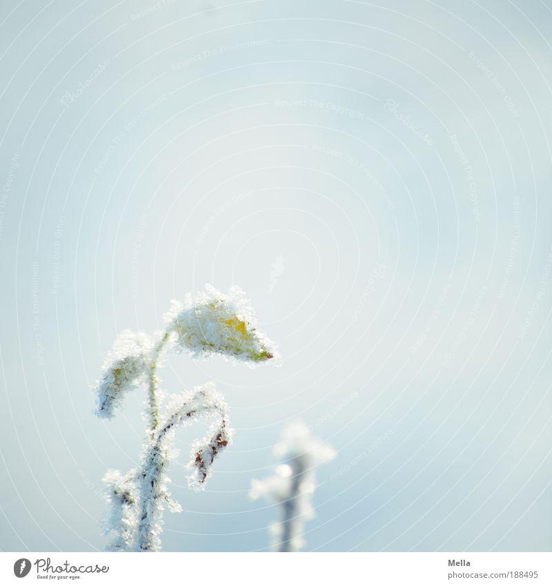 Fest im Griff Natur weiß Blume Pflanze Winter Blatt kalt Schnee Blüte Eis hell Wetter Umwelt Rose ästhetisch Frost