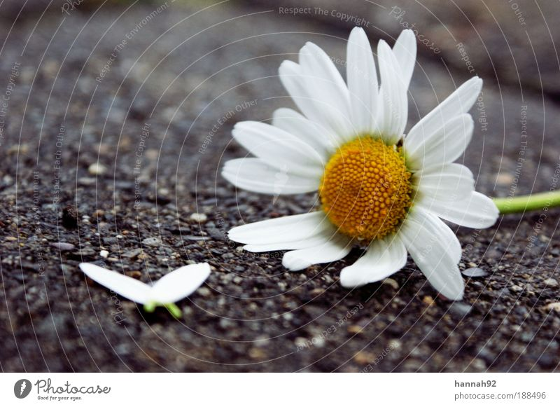 he loves me, he loves me not... Natur Pflanze Frühling Blume Blatt Blüte gelb weiß Gefühle Verliebtheit Hoffnung daisy Margerite Gänseblümchen Farbfoto