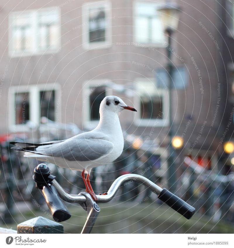 Mitfahrgelegenheit Umwelt Winter Schönes Wetter Amsterdam Stadtzentrum Haus Fassade Fenster Fahrzeug Fahrrad Tier Vogel Möwe 1 beobachten festhalten stehen
