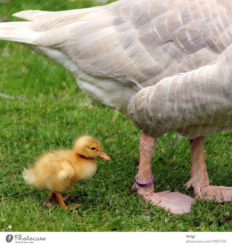 immer nah bei Mama... Natur Pflanze grün Tier Tierjunges Umwelt gelb Leben Frühling Wiese natürlich Gras klein grau Vogel Idylle