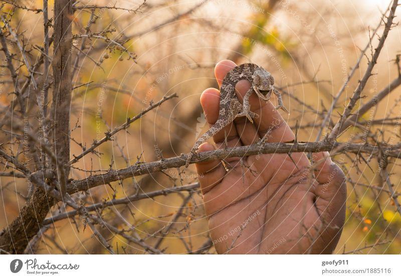 Camelion 5 Hand Umwelt Natur Landschaft Frühling Sommer Herbst Schönes Wetter Wärme Dürre Pflanze Baum Sträucher Wildpflanze Wüste Tier Wildtier Tiergesicht