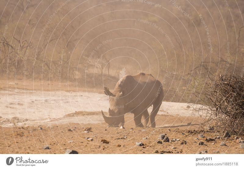 Nashorn 2 Ferien & Urlaub & Reisen Ausflug Abenteuer Ferne Safari Sommer Sonne Umwelt Natur Landschaft Erde Sand Wärme Dürre Sträucher Wüste Tier Wildtier