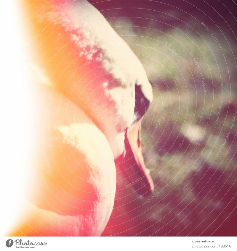 nuclear kitsch. Tier schlafen Schwan light leak Lichtfleck Vogel Quadrat weiß Strahlung Radioaktivität Umweltverschmutzung bedrohlich Farbfoto Außenaufnahme