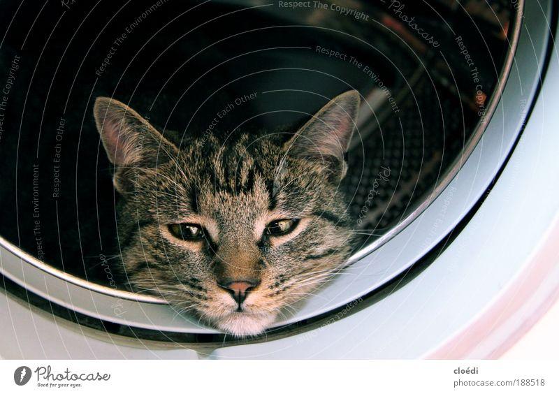 katzenwäsche Waschmaschine Tier Haustier Katze 1 beobachten kuschlig braun grau schwarz weiß Innenaufnahme Textfreiraum rechts Textfreiraum oben Tierporträt