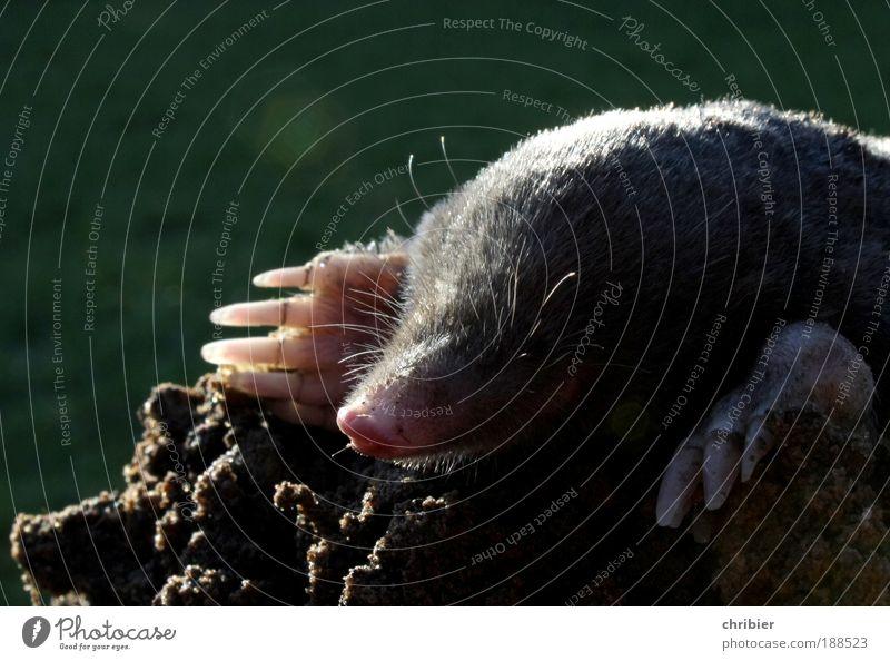 Hast DU mir auf den Kopf gemacht? grün Tier Wiese grau träumen braun Beruf dreckig klein Erde liegen Wut außergewöhnlich Hügel Neugier Tunnel