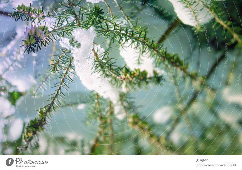 Schneelichter Natur Sonnenlicht Winter Klima Schönes Wetter Eis Frost Pflanze Sträucher Blüte Grünpflanze Heidekrautgewächse blau grün weiß kalt frieren