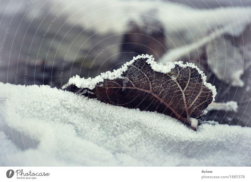 Winterherbst Natur Pflanze Eis Frost Schnee Blatt Garten liegen Außenaufnahme