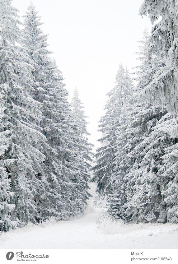Für Waldmeister Ferien & Urlaub & Reisen Ausflug Winter Winterurlaub Umwelt Wetter schlechtes Wetter Eis Frost Schnee Pflanze Baum groß kalt weiß Natur Tanne