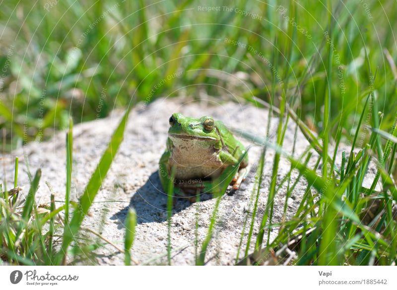 Grüner Frosch mit Gras Natur Sommer Farbe grün weiß Landschaft Einsamkeit Blatt Tier Umwelt natürlich klein springen Wildtier nass
