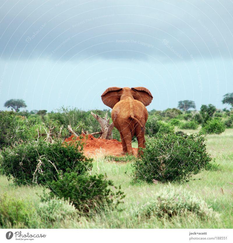 lauschen dem Elefantenarsch Ferne Safari Gewitterwolken Sträucher Savanne Wildtier 1 Wachsamkeit Elefantenohren Nationalpark Hinterteil tropisch