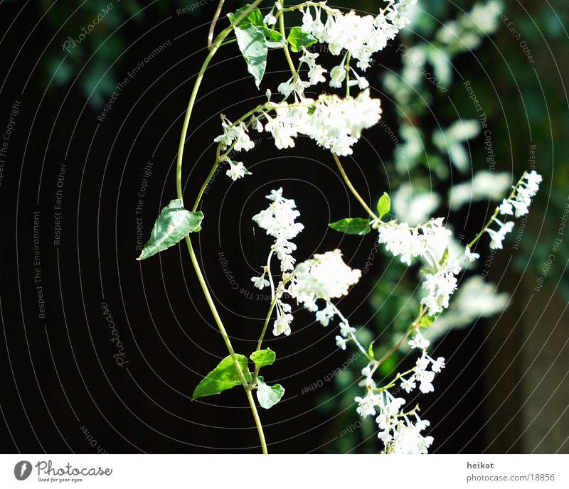 Knoeterich grün weiß Kletterpflanzen Blatt Blüte
