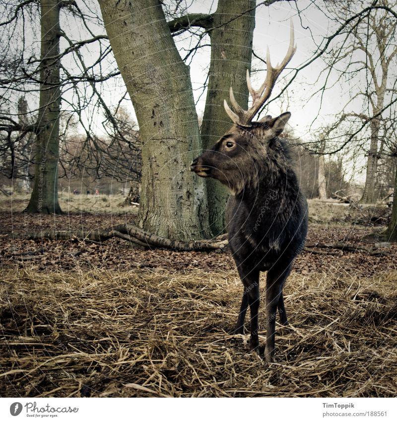 Mein Name ist Hirsch Baum Tier Wald maskulin Tiergesicht Zoo Wildtier Jagd Horn Stolz Hirsche Vorgesetzter Reh Führer Revier Wildpark