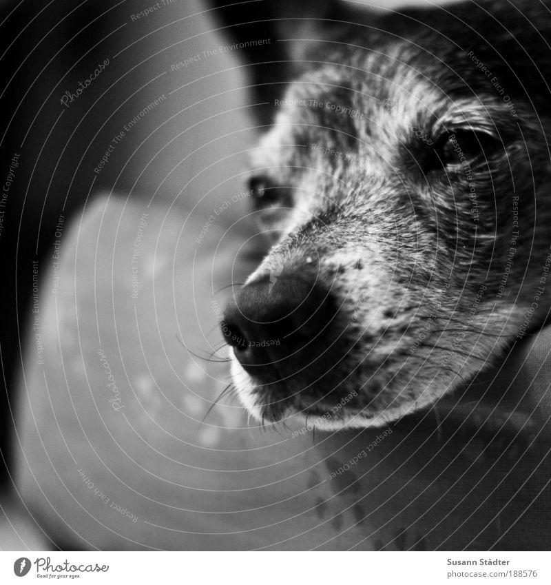 Dream a little Dream alt ruhig Tier Hund Wärme träumen Zufriedenheit glänzend Nase Wildtier Spitze weich Tiergesicht Fell Haustier kuschlig
