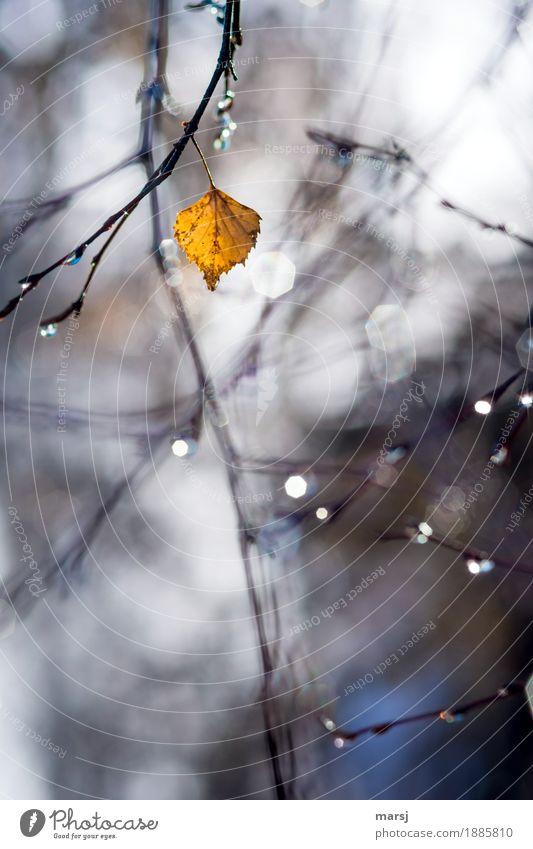 Ausdauernd Natur Herbst Schönes Wetter Pflanze Baum Blatt Birkenblätter hängen leuchten Hoffnung Traurigkeit herbstlich Herbstlaub Herbstfärbung lauf der zeit