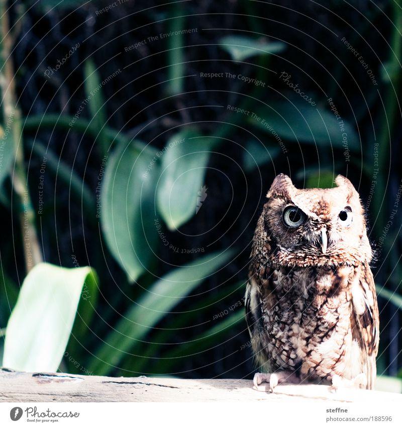 SUPER OWL Tier Vogel Wildtier Florida Eulenvögel Uhu Florida Keys
