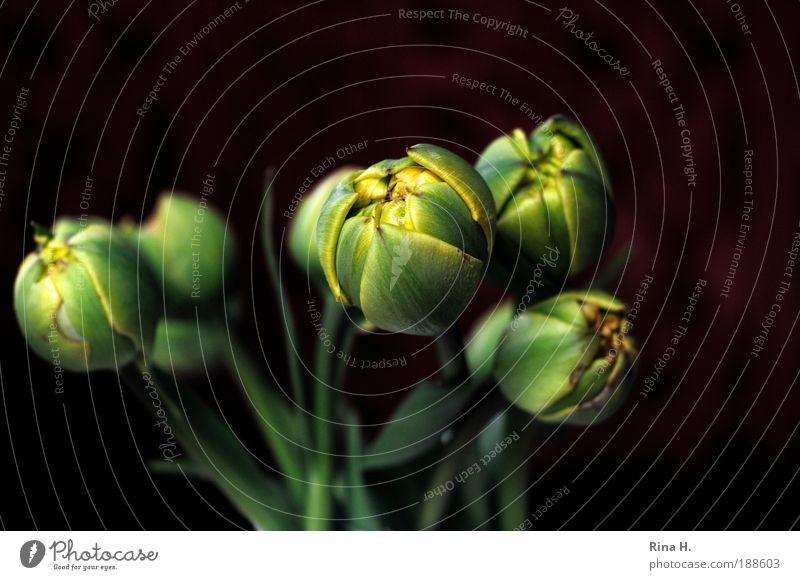 Frischlinge II grün Pflanze Blume gelb Glück Blüte Stil elegant warten frisch ästhetisch authentisch Lifestyle Blühend Blumenstrauß Tulpe