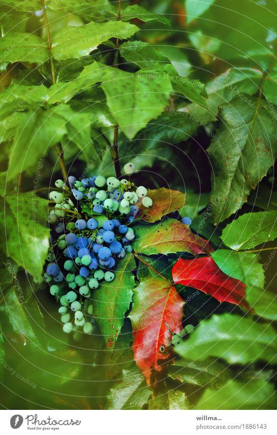 Blaue Beeren an Mahonienstrauch Beerensträucher Berberitze hahnenfußartig Bedecktsamer Immergrüne Pflanzen blau rot Beerenfruchtstand Flora Natur