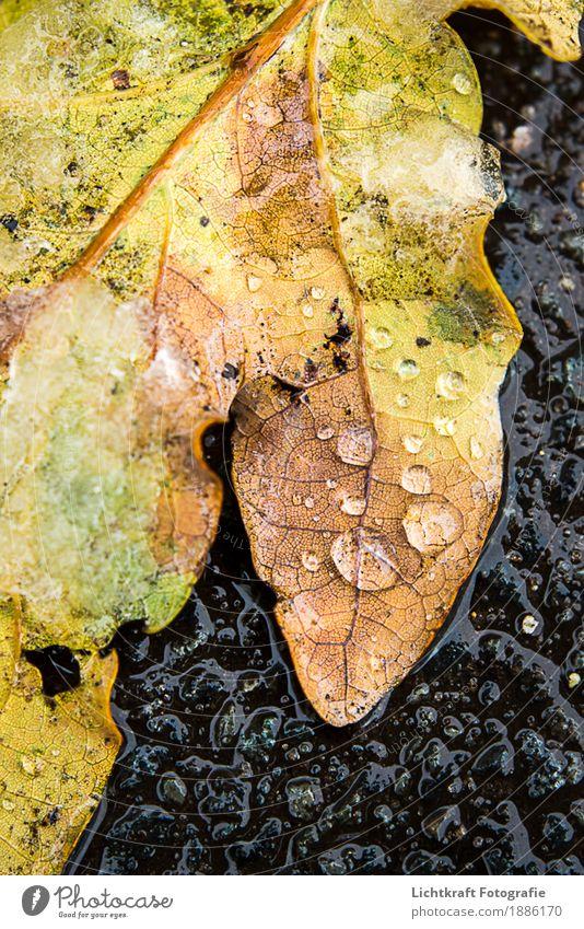 Schneeschmelze Natur Wasser Wassertropfen Winter Wetter Eis Frost Blatt frisch nass natürlich schön braun gelb gold schwarz ruhig standhaft Interesse