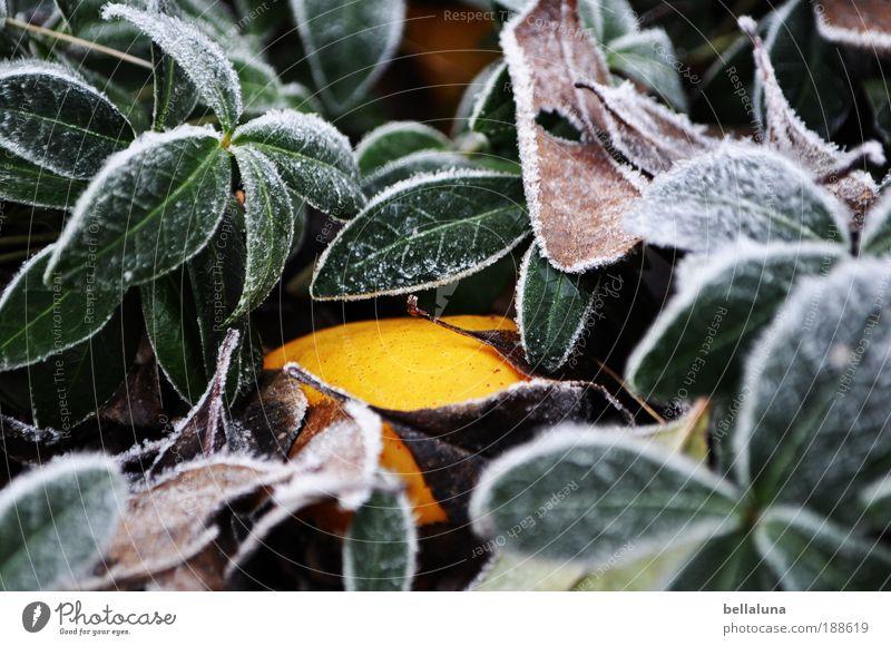 Suchbild - Wilde Quitte Natur Pflanze Blatt gelb kalt Eis Wetter Umwelt Frost Sträucher Klima Schönes Wetter Grünpflanze Wildpflanze Quitte