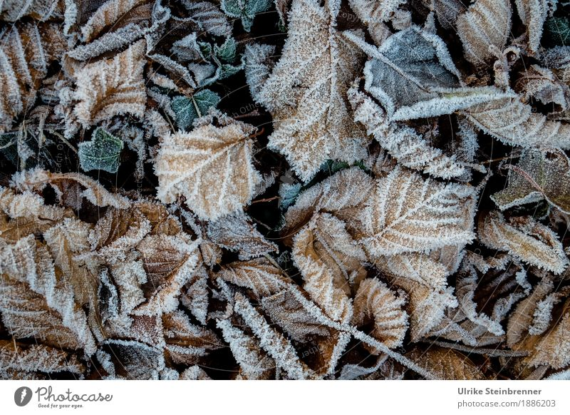 Raureif 1 Umwelt Natur Pflanze Herbst Winter Eis Frost Blatt Garten Park Wiese kalt natürlich Wandel & Veränderung Herbstlaub Efeu Bodendecker Gartenboden