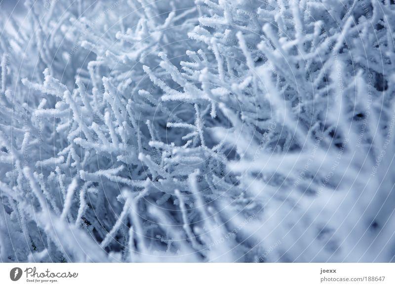 Schneekorallen Natur weiß blau Winter kalt Schnee Wetter Ast Winterstimmung
