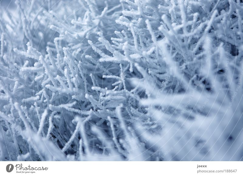 Schneekorallen Natur weiß blau Winter kalt Wetter Ast Winterstimmung