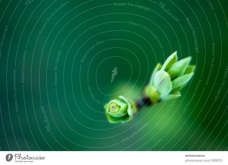 Grüne Knospen Natur Frühling Sträucher Feld Berge u. Gebirge Optimismus Erfolg Tatkraft Warmherzigkeit Romantik schön dankbar Gelassenheit Ehrlichkeit Weisheit