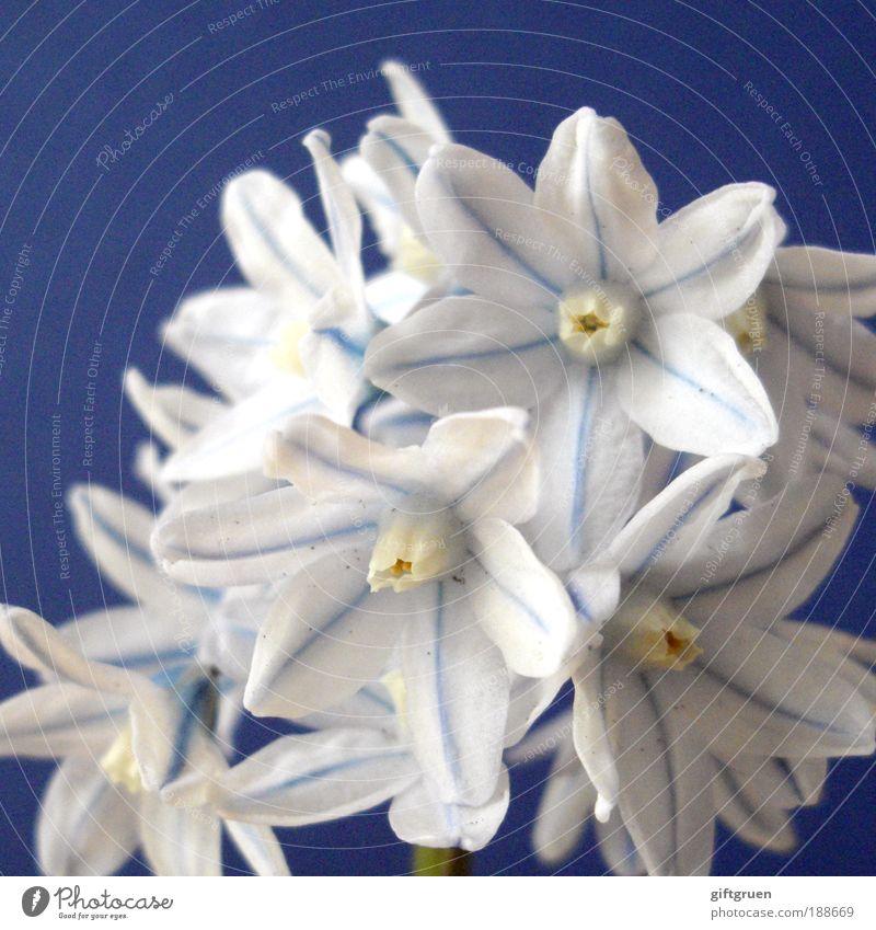 snowflakes Natur blau weiß schön Pflanze Blume Blüte Frühling klein elegant frisch Fröhlichkeit natürlich ästhetisch Wachstum Sauberkeit