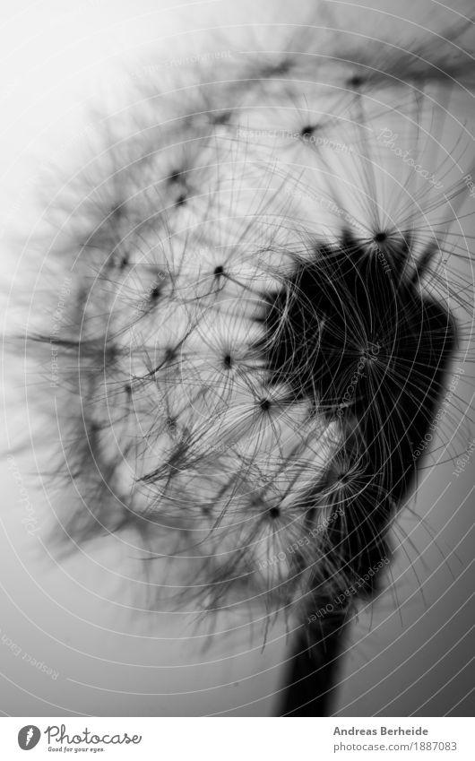 Leichtigkeit Sommer Natur Pflanze Wind Blume springen schön weich Trauer dandelion flower seed black dandilion white abstract flying close up bloom damaged head