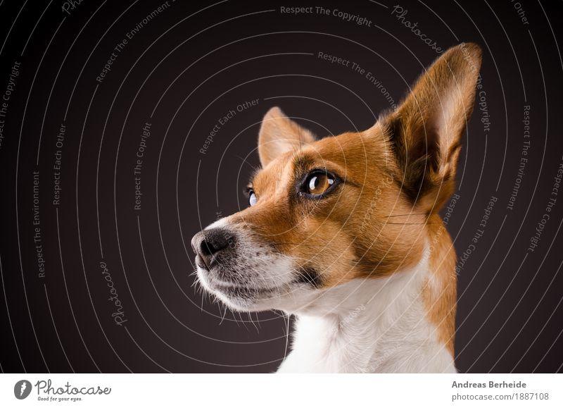 Jack Russell Terrier Landwirtschaft Forstwirtschaft Mensch Haustier Nutztier Hund Tiergesicht 1 klug dog jack Hintergrundbild isolated Werkstatt old white shot