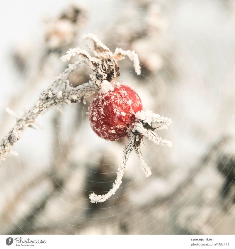 Red ballon Natur alt Pflanze rot Winter kalt Schnee Eis Park Frucht Sträucher Frost Rose frieren Blume Wildpflanze