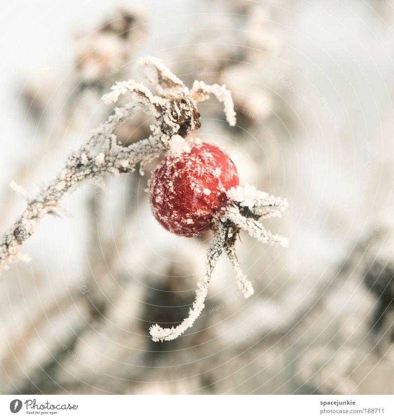 Red ballon Natur Winter Eis Frost Schnee Pflanze Sträucher Rose Wildpflanze Park alt frieren kalt rot Frucht Farbfoto Außenaufnahme Tag Schwache Tiefenschärfe