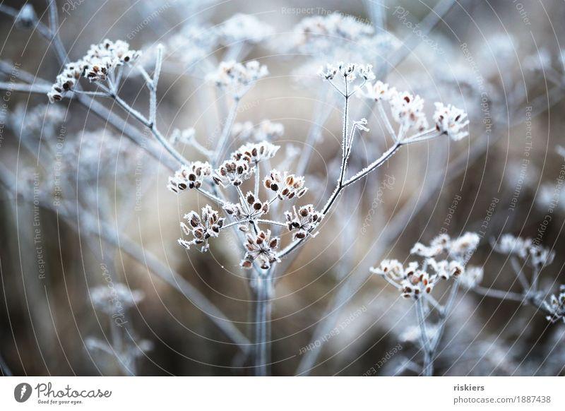 Eisblume Umwelt Natur Pflanze Winter Frost Schnee Blume leuchten ästhetisch kalt Idylle Farbfoto Außenaufnahme Menschenleer Tag Kontrast Schwache Tiefenschärfe