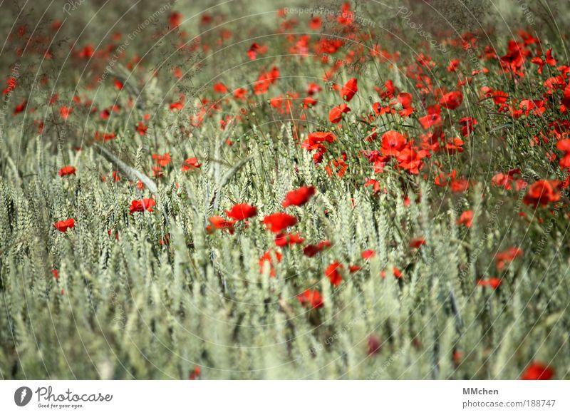 MischKultur Natur Blume grün rot Sommer Ferien & Urlaub & Reisen Glück Zufriedenheit Feld Fröhlichkeit Wachstum wild Lebensfreude Getreide Duft Mohn
