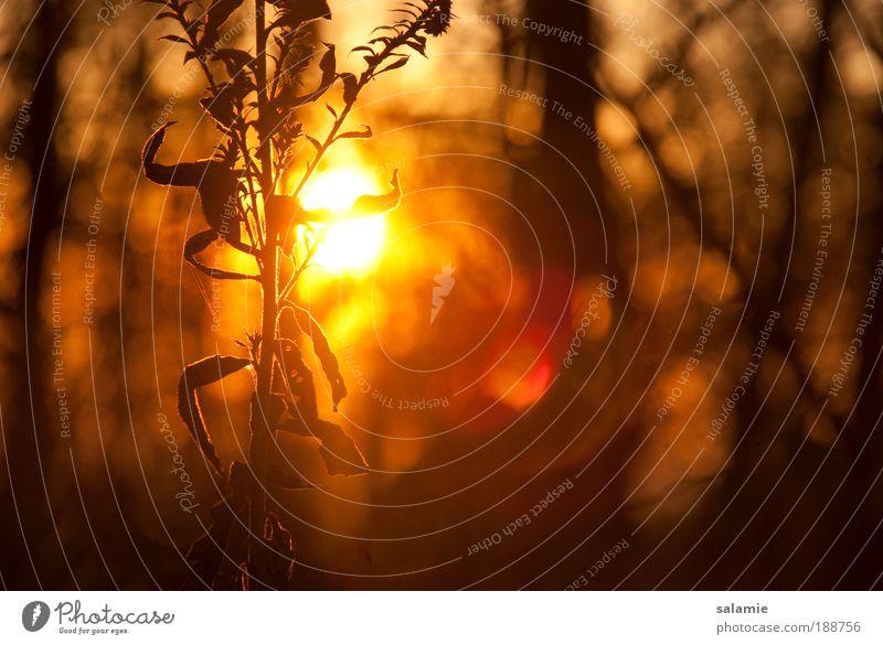 In hoher Gesellschaft Natur Pflanze Wald Herbst Sonnenuntergang gold Sträucher nah Nahaufnahme Warmherzigkeit Wildpflanze