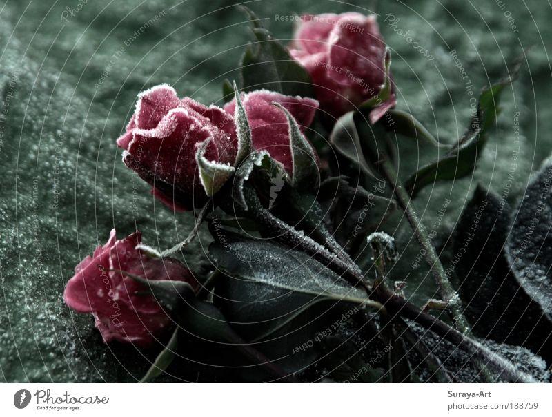 gefrostet Natur Blume Pflanze rot Winter kalt Eis rosa elegant frisch Rose ästhetisch Frost authentisch Klima