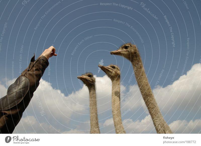 Straußendirigent Hand Himmel blau Wolken Tier sprechen Mensch mehrere Tierporträt Kopf grau Licht braun Vogel lustig Arme