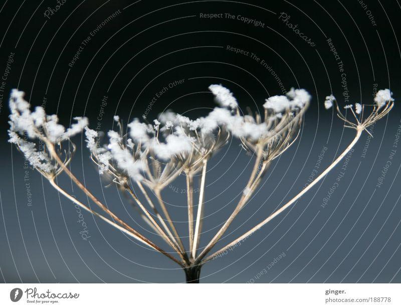 Winterschmuck Umwelt Natur Pflanze Klima Wetter Eis Frost Schnee frieren weiß verdorrt gefroren kalt beige grau-blau anthrazit streben hart zart Jahreszeiten