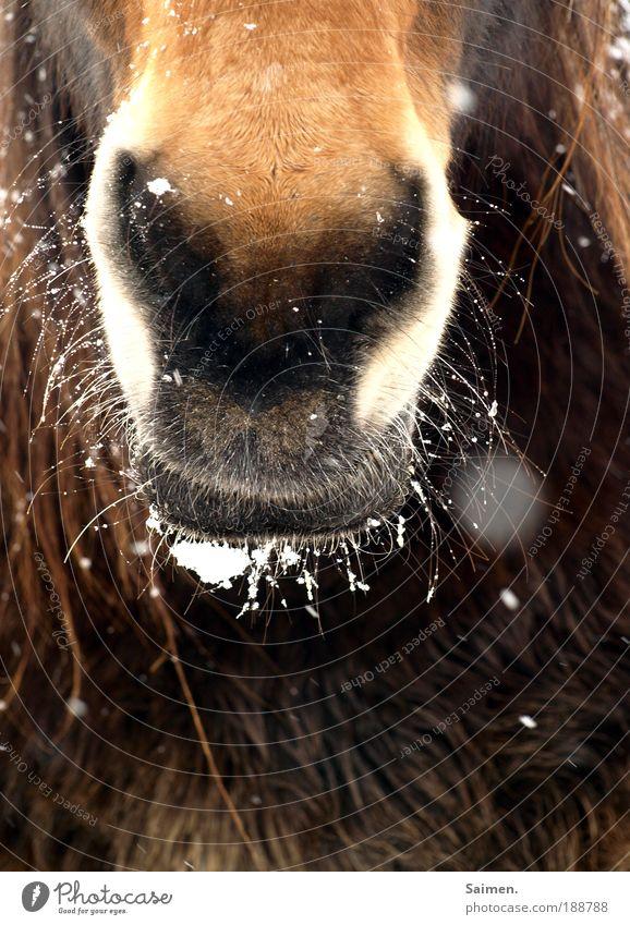 kalt´s Maul Natur Tier Schneefall braun Nase Umwelt Pferd bedrohlich Fell Neugier frieren atmen Respekt Interesse Schüchternheit
