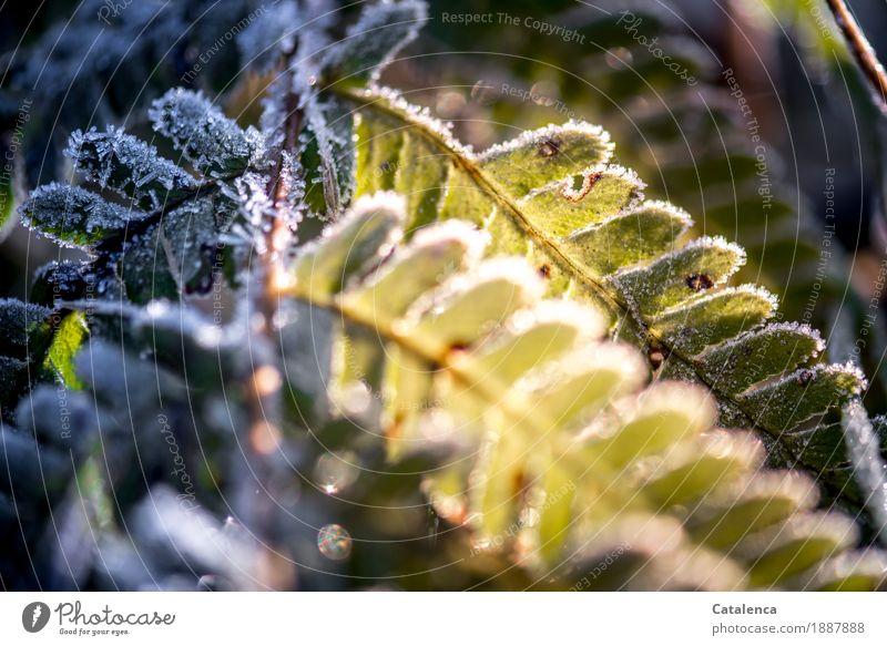 Schatten und Sonnenseite Natur Pflanze Winter Schönes Wetter Eis Frost Blatt Grünpflanze Farnblatt Garten Wald glänzend kalt schön gelb gold grün schwarz silber