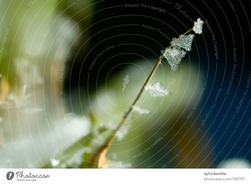 Schönheit des Winters Umwelt Natur Pflanze Urelemente Wasser Klima Eis Frost Schnee Sträucher Blatt Grünpflanze Park Wiese glänzend kalt grün weiß gefroren