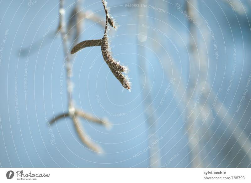 Schönheit des Winters II Umwelt Natur Pflanze Himmel Klima Wetter Eis Frost Schnee Baum Coolness kalt blau braun weiß gefroren frieren Kristalle